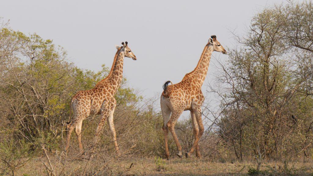 Giraffes Hluhluwe–iMfolozi